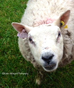 This meant having to break the news and say goodbye to our adopted Sheep Sybil ...